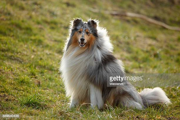 Portrait of Rough Collie sitting on a meadow