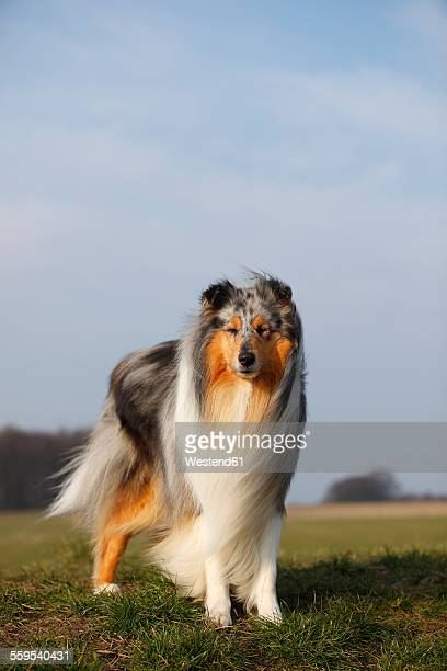 portrait of rough collie standing on a meadow - collie stock photos and pictures