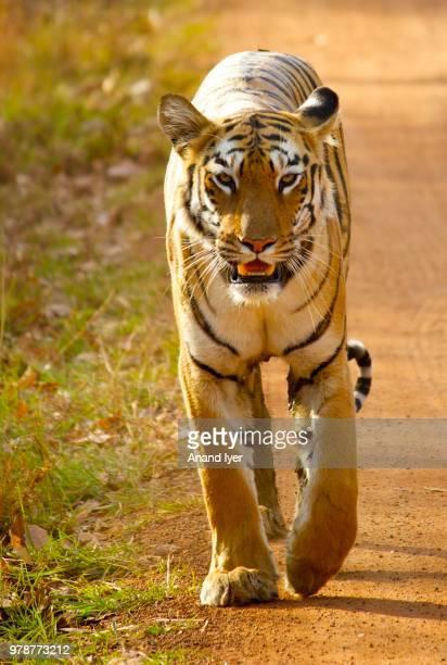 Portrait of Royal Bengal Tiger (Panthera tigris tigris) walking
