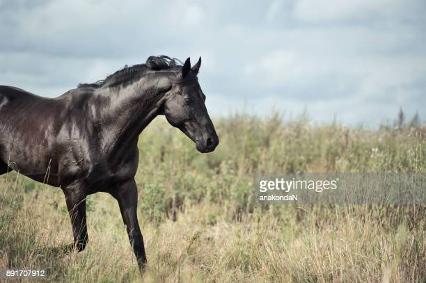 portrait of running black horse in  field - thoroughbred horse stock pictures, royalty-free photos & images