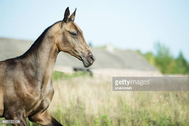 portrait of running purebred akhalteke  colt on the meadow