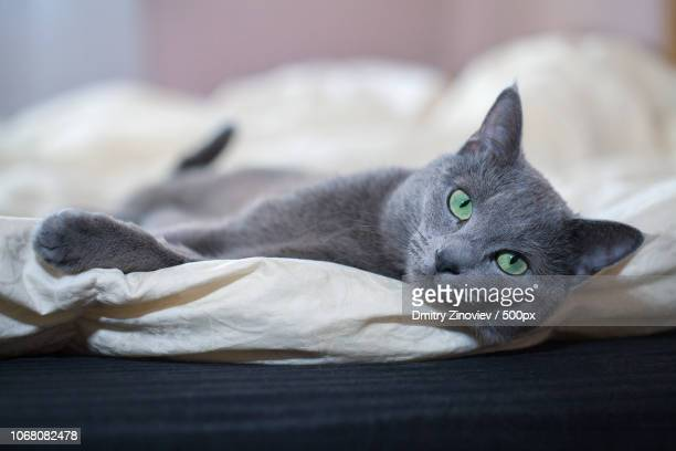 portrait of russian blue cat lying on side - russian blue cat stock pictures, royalty-free photos & images