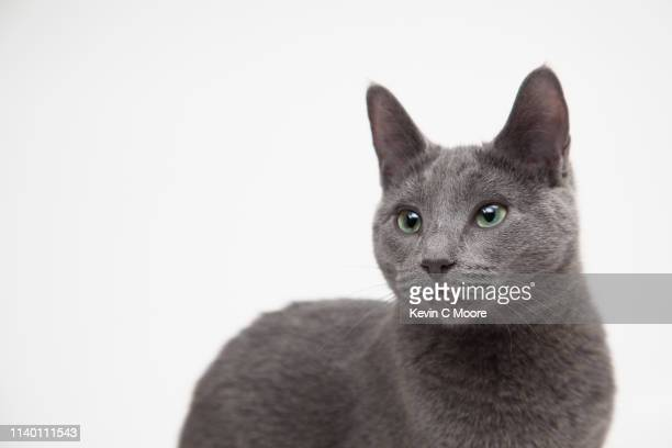 portrait of russian blue cat - russian blue cat stock pictures, royalty-free photos & images