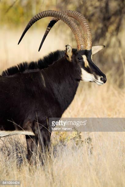 portrait of sable antelope (hippotragus niger).south africa - palanca negra imagens e fotografias de stock