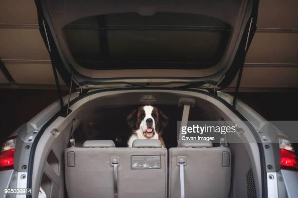 Portrait of Saint Bernard seen through open car trunk