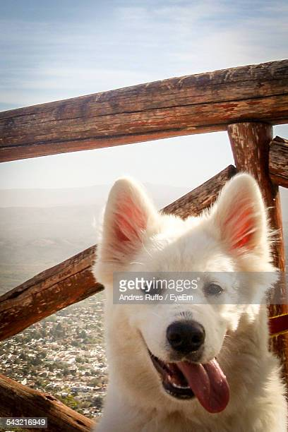 portrait of samoyed dog - andres ruffo stock photos and pictures