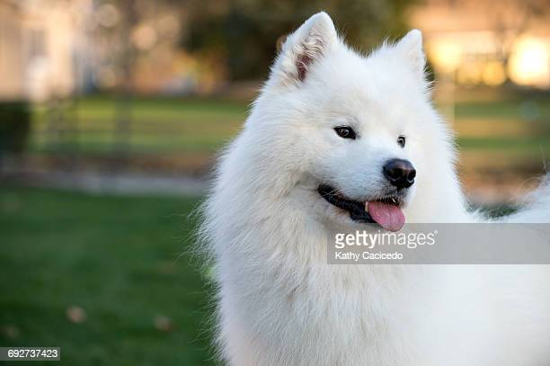 Portrait of Samoyed