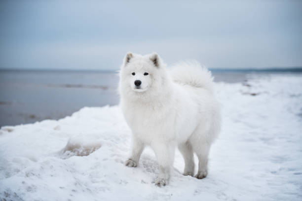 Portrait of samoyed standing on snow covered land