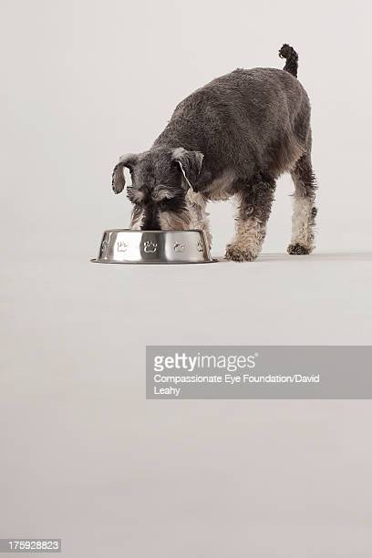 Portrait of Schnauzer eating from dog bowl