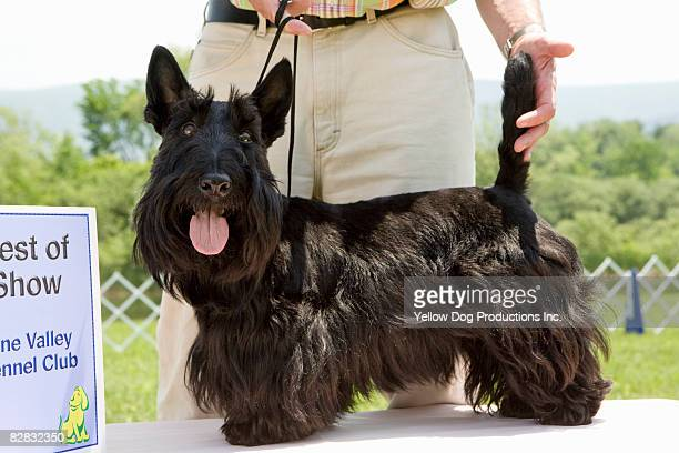 portrait of scottish terrier, best in show dog - dog show stock pictures, royalty-free photos & images