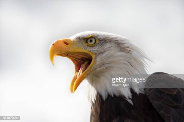 portrait of screaming bald eagle (haliaeetus leucocephalus) - snavel stockfoto's en -beelden