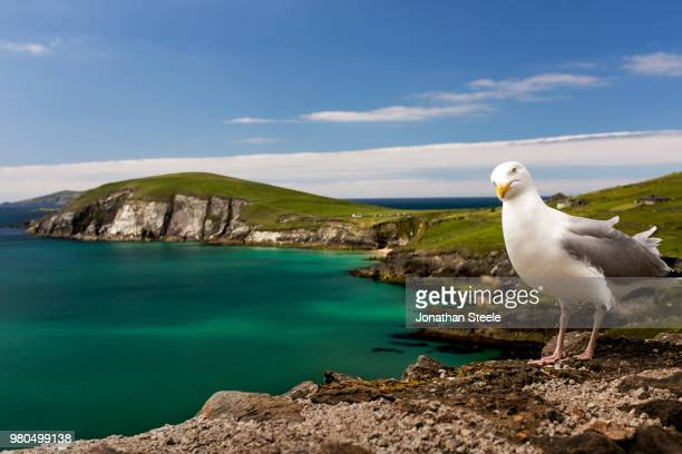 portrait of seagull standing on coastal rock formation, dingle, dingle peninsula, county kerry, ireland, uk - küste stock-fotos und bilder