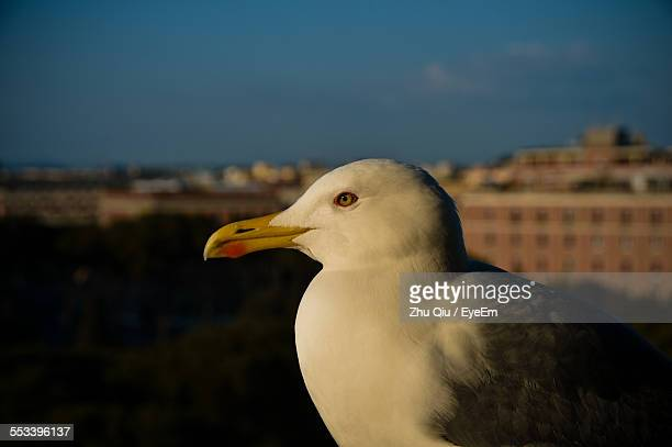 Portrait Of Seagull With Cityscape In Background