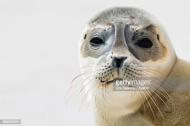 portrait of seal against white background - seal stock pictures, royalty-free photos & images