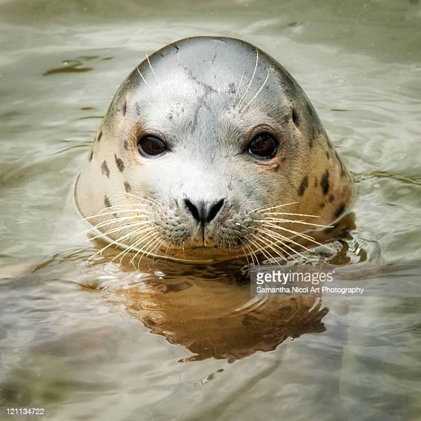 portrait of seal  in water - foca imagens e fotografias de stock