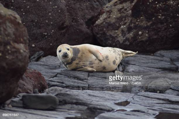 Portrait Of Seal On Rock