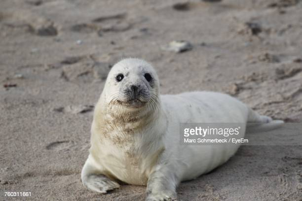 portrait of seal on sand at beach - seal pup stock photos and pictures