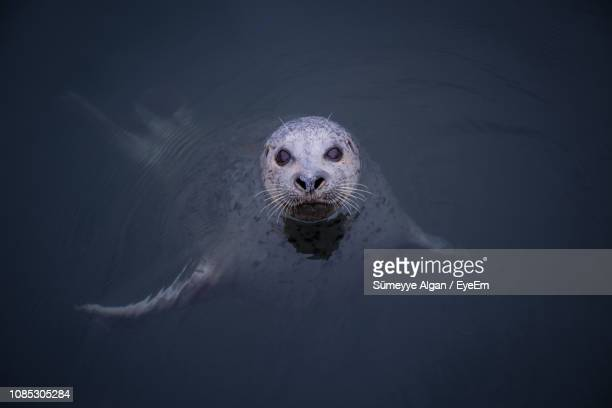 portrait of seal swimming in sea - seal animal stock pictures, royalty-free photos & images