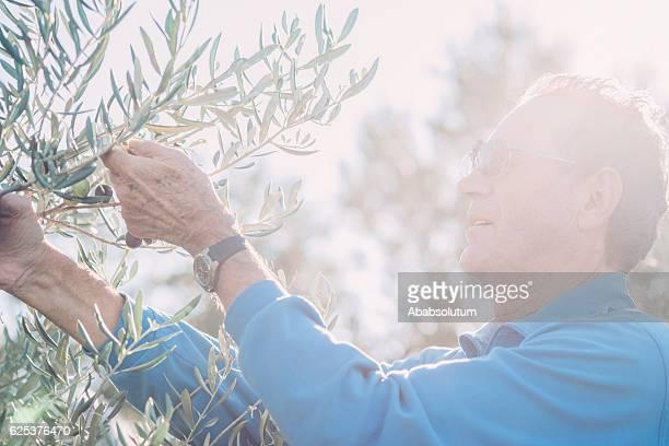 Portrait of Senior Man Harvesting Olives in Brac, Croatia, Europe