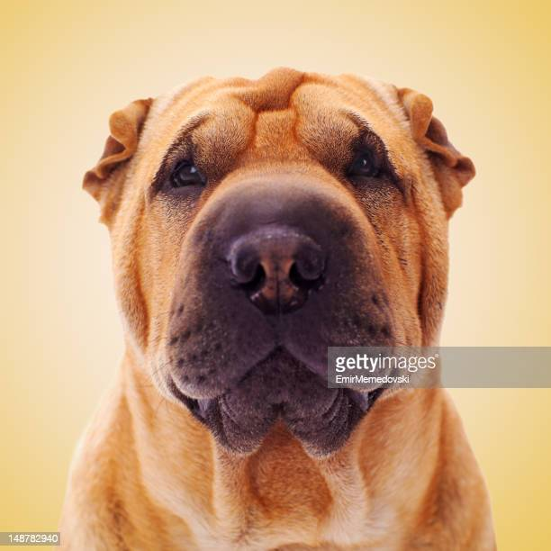 Portrait of Shar Pei Dog