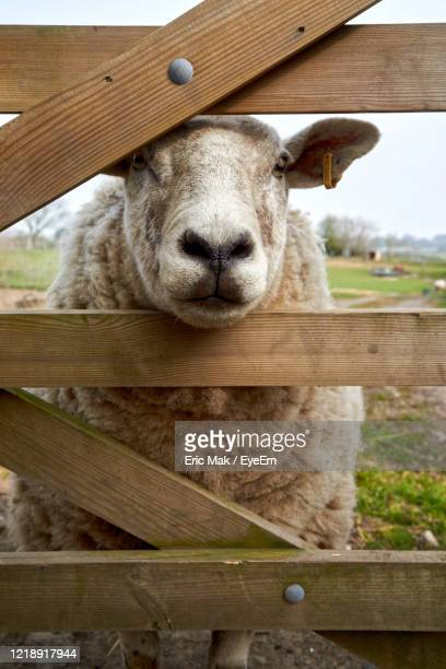 portrait of sheep in pen - snout stock pictures, royalty-free photos & images