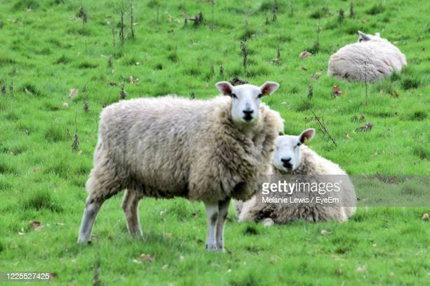 portrait of sheep on field - wales stock pictures, royalty-free photos & images