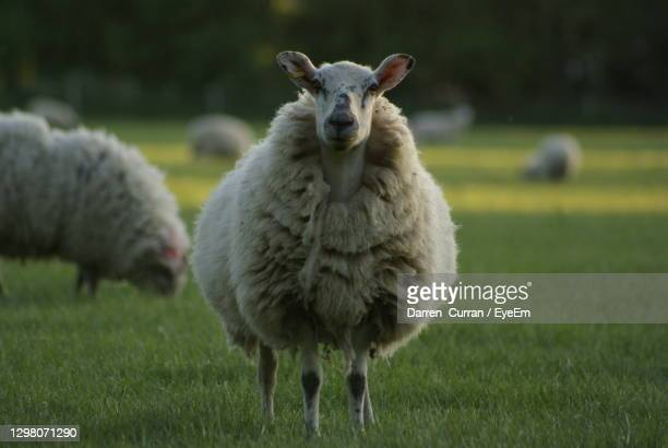 portrait of sheep on field - curran stock pictures, royalty-free photos & images