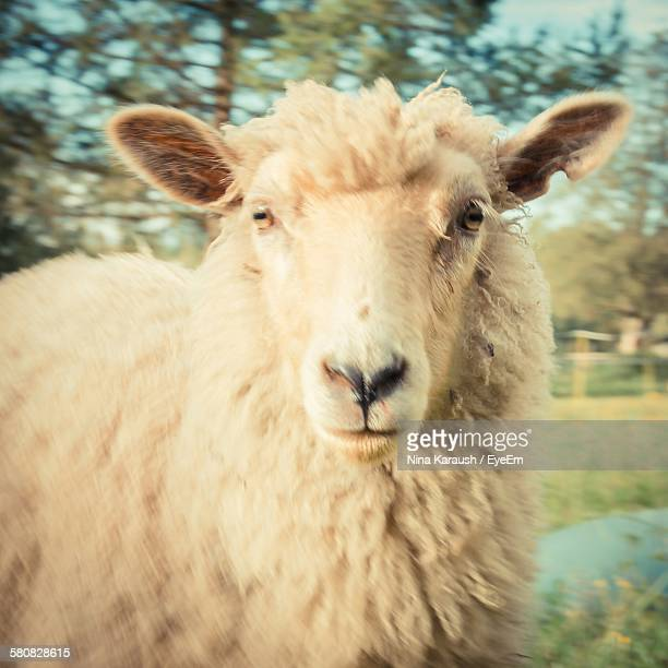 Portrait Of Sheep On Field