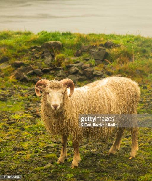 portrait of sheep standing in field - one animal stock pictures, royalty-free photos & images