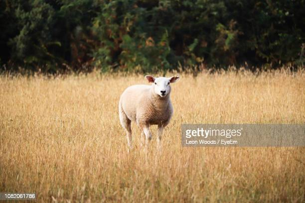 portrait of sheep standing on field - hoofed mammal stock pictures, royalty-free photos & images