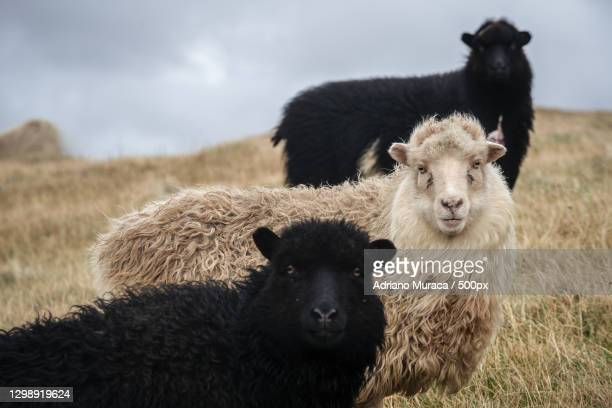portrait of sheep standing on field,faroe islands,denmark - images stock pictures, royalty-free photos & images