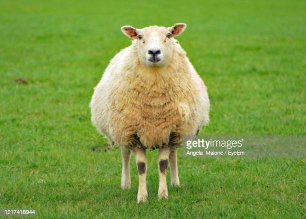 portrait of sheep standing on grass - one animal stock pictures, royalty-free photos & images