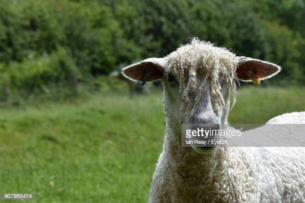 Portrait Of Sheep Standing On Grassy Field