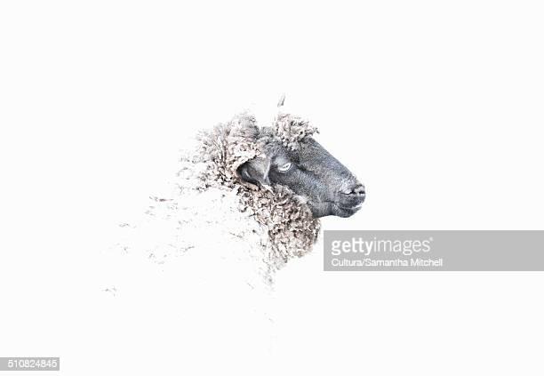 Portrait of sheep's head
