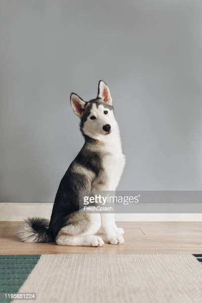 portrait of siberian husky puppy - husky dog stock pictures, royalty-free photos & images