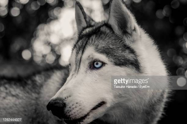 portrait of siberian husky.siberian husky on nature in the autumn park on a background. - animal nose stock pictures, royalty-free photos & images