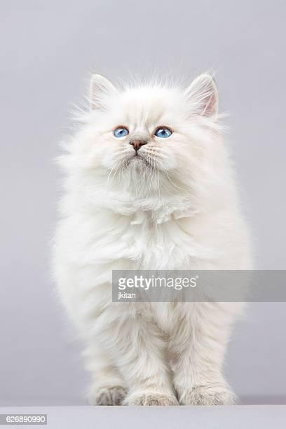 ritratto di bel gattino siberiano - occhi azzurri foto e immagini stock