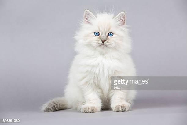 Porträt von sibirische Kätzchen