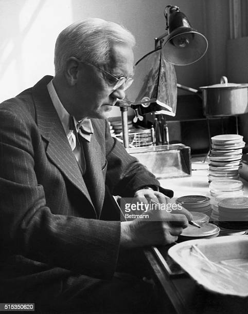 Portrait of Sir Alexander Fleming codiscoverer of Penicillin He is shown here in his laboratory checking on some cultures Undated photograph