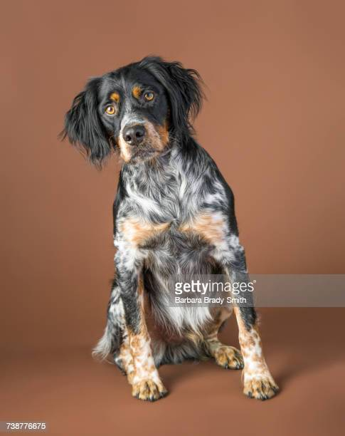 portrait of sitting dog - brittany spaniel stock pictures, royalty-free photos & images