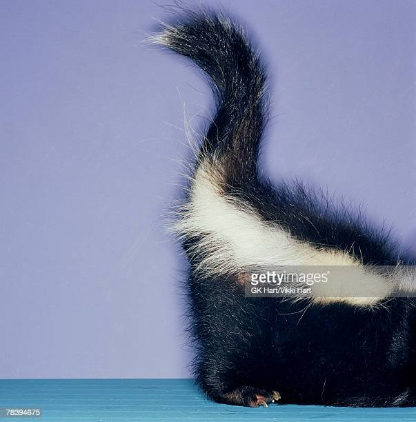 portrait of skunk - skunk stock photos and pictures