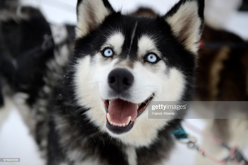 Portrait of Sled Dog in winter, Le Corbier, France : Stock Photo