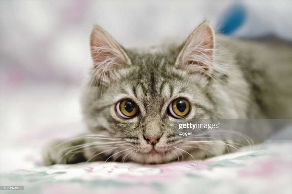 portrait of small cute kitten on sofa ストックフォト getty images