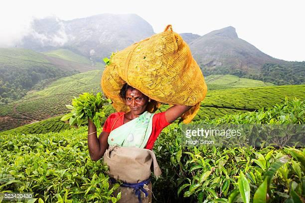 portrait of smiling tea picker, kerala, southern india - hugh sitton bildbanksfoton och bilder