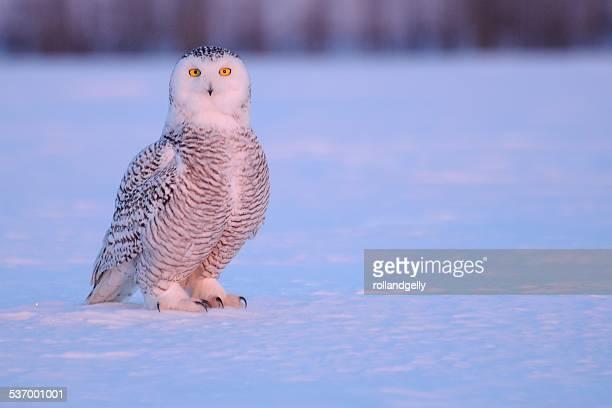 Portrait of snow owl, Mirabel, Quebec, Canada