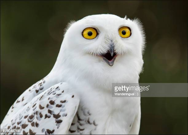 portrait of snowy owl (bubo scandiacus), simcoe, ontario, canada - snowy owl stock pictures, royalty-free photos & images