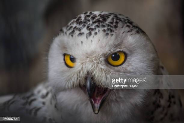 portrait of snowy owl (bubo scandiacus) with open beak - snowy owl stock pictures, royalty-free photos & images