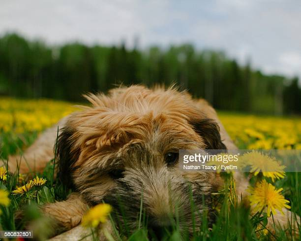 portrait of soft-coated wheaten terrier in yellow dandelion flower field - soft coated wheaten terrier stock photos and pictures