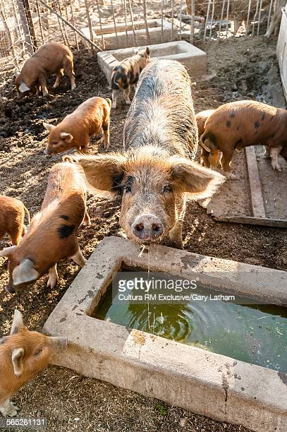 portrait of sow and piglets on farm, windhoek, namibia, namibia - pigs trough stock pictures, royalty-free photos & images
