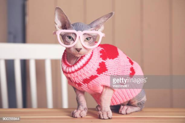 portrait of sphynx cat on table wearing pink pullover and funny glasses - funny animals stock pictures, royalty-free photos & images